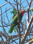 The endangered Abaco Parrot -- we see four!