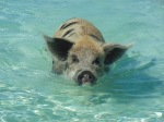Pigs swim out to greet you to get a carrot on Big Major