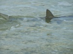 Shark comes right up to the shore where we are walking in the water by the beach. Yikes!