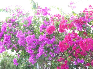 The flowers are blooming all over Spanish Wells. Gorgeous!
