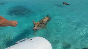 Pigs swimming to greet us and get fed at Big Majors Spot