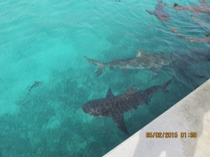 Sharks gather in front of where he is cleaning fish to catch what he throws in. These are bull sharks and not the 'friendly' sharks we've seen at other places