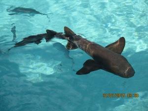 The 'pet' sharks at the Compass Cay Marina
