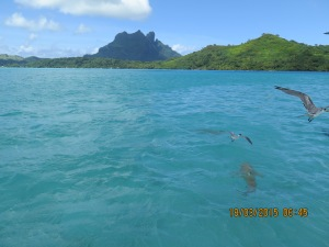 Shark in the water with birds just above-- hills of Bora Bora in the distance